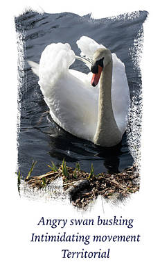 Photograph - Swan Busking Haiku Annotated by Constantine Gregory