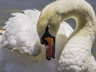 Swan Photograph - Swan Close Up by Zina Stromberg