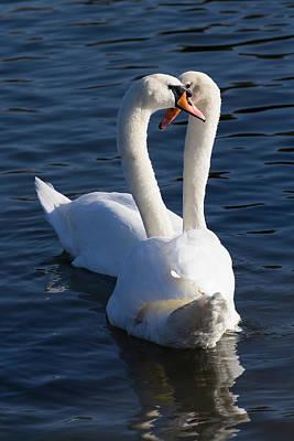 Swan Pair Photograph - Swan Courtship  by David Pyatt
