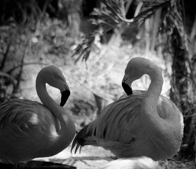 Photograph - Swan Dance by Maria Reverberi