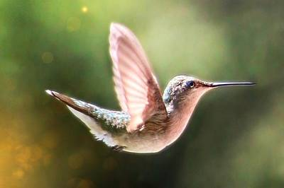 Photograph - Swan Dive Hummingbird by Lorella Schoales