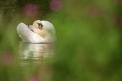 Photograph - Swan Dream  by Cliff Norton