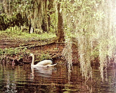 Photograph - Swan Dreams by Judy Vincent