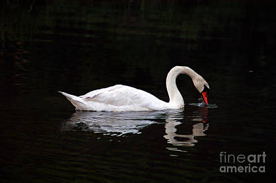 Swan Drinking Art Print by Clayton Bruster