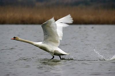 Swan During Take Off Art Print