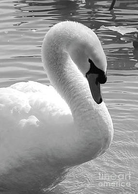 Swans Photograph - Swan Elegance Black And White by Carol Groenen