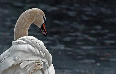 Photograph - Swan by Elsa Marie Santoro