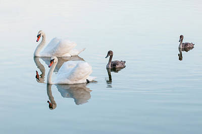 Photograph - Swan Family by Carolyn Dalessandro
