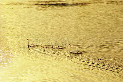 Photograph - Swan Family Into The Sunset by Kay Brewer