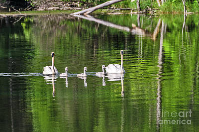 Photograph - Swan Family With Triplets by Sue Smith