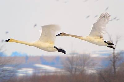 Photograph - Swan Flight by Bonfire Photography