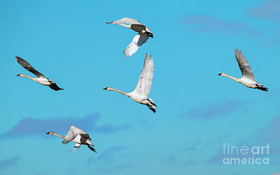 Swans Photograph - Swan Flight by Mike Dawson