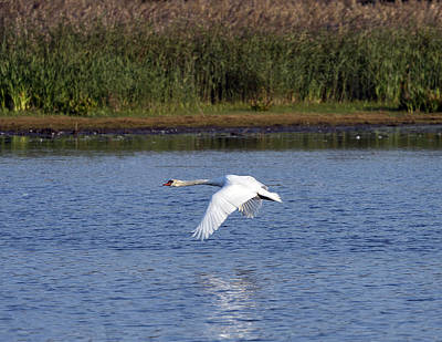 Photograph - Swan Flying Above Lake Wings Down by William Bitman