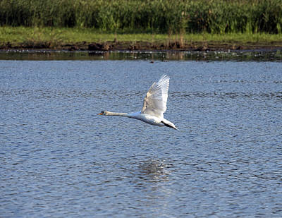 Photograph - Swan Flying Above Lake Wings Up by William Bitman