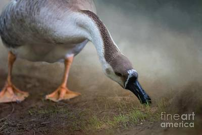 Photograph - Swan Goose by Eva Lechner