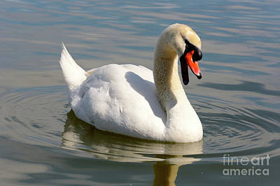 Photograph - Swan Greeting by Carol Groenen