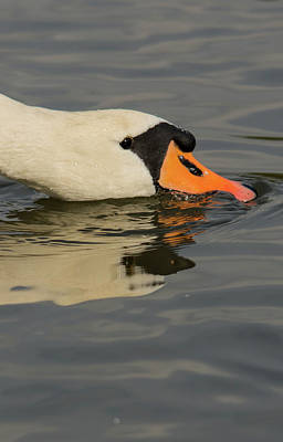 Swan Head  Print by Cliff Norton