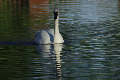 Aperture Photograph - Swan In Calm Waters by Jeff Swan
