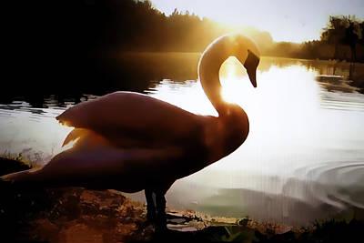 Swan In Evening Sun Original
