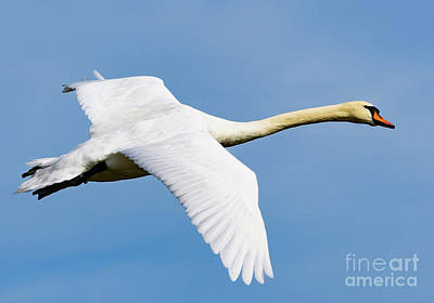 Photograph - Swan In Flight by Colin Rayner
