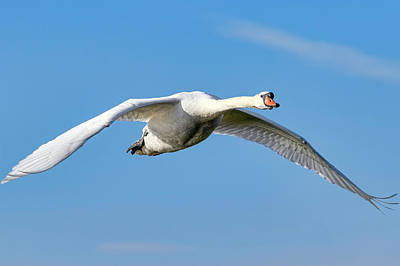 Photograph - Swan In Flight by Nadia Sanowar