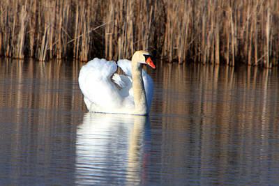 Swan In Marsh Art Print by Dave Clark