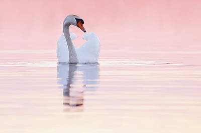 Swan In Pink Art Print by Roeselien Raimond