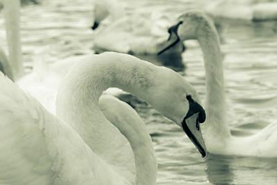 Swan In Water Art Print