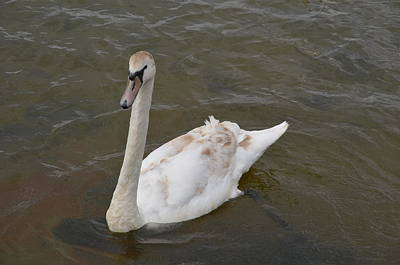 Photograph - Swan In Water by Sherri Strikwerda