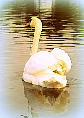 Photograph - swan in the genus Cygnus by Hilde Widerberg