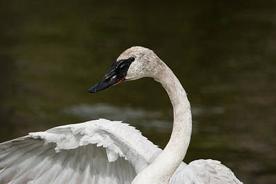 Photograph - Swan by Jack Bell