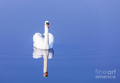 Photograph - Swan by Jim Orr