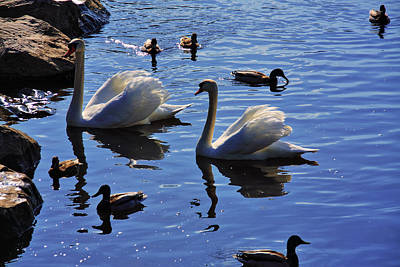 Photograph - Swan Lake by Aidan Moran