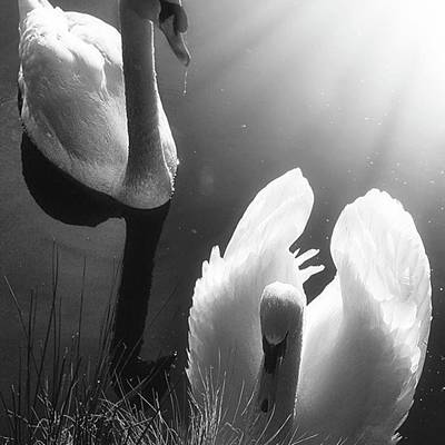Natureonly Photograph - Swan Lake In Winter -  Kingsbury Nature by John Edwards