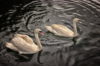 Swans Photograph - Swan Lake by Martin Newman