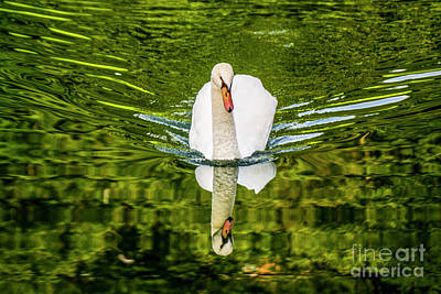 Swan Lake Nature Photo 892 Art Print