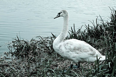 Photograph - Swan Lake by Stewart Scott