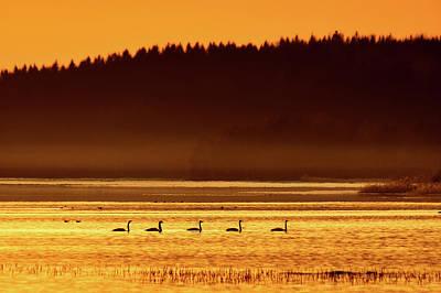 Photograph - Swan Lake Sunset. Whooper Swan by Jouko Lehto