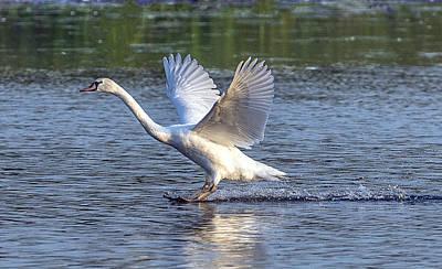Photograph - Swan Landing On Lake by William Bitman