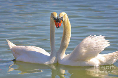 Glassy Wing Photograph - Swan Love by Carol Groenen