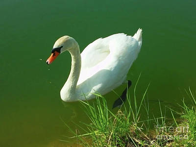 Photograph - Swan Magnificent by Jasna Dragun