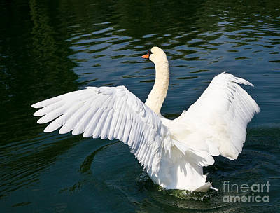 Swan Moment Print by John Waclo