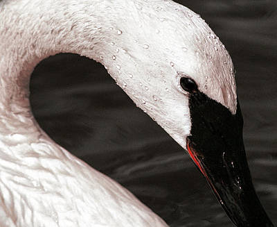 Art Print featuring the photograph Swan Neck by Jean Noren