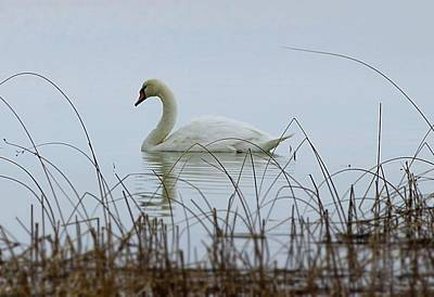 Photograph - Swan Of April by Al Fritz