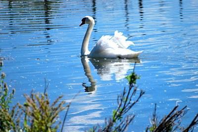 Photograph - Swan On A Lake by Matt Harang
