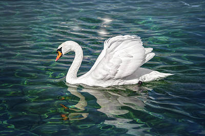 Birds Royalty-Free and Rights-Managed Images - Swan on Lake Geneva Switzerland  by Carol Japp