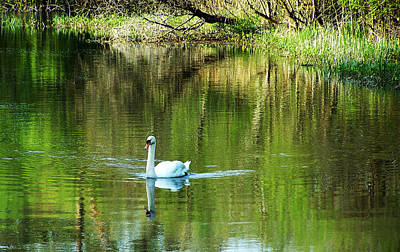 Irish Photograph - Swan On The Cong River Cong Ireland by Teresa Mucha