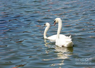 Mick Jagger - Swan Pair on Beautiful Blue Water by Carol Groenen