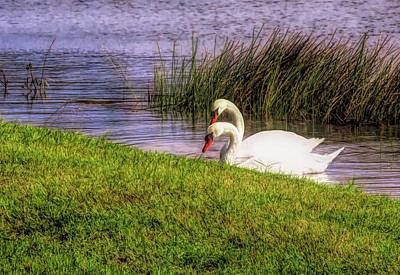 Photograph - Swan Pair Warm Color by Rosalie Scanlon