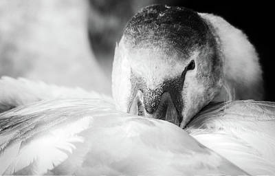 Photograph - Swan Portrait by Cliff Norton